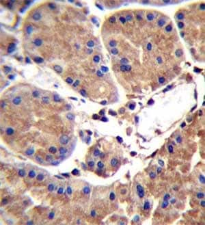Immunohistochemistry (Formalin/PFA-fixed paraffin-embedded sections) - Anti-SAAL1 antibody - C-terminal (ab170739)