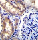 Immunohistochemistry (Formalin/PFA-fixed paraffin-embedded sections) - Anti-SH2D4A antibody - N-terminal (ab170797)