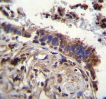 Immunohistochemistry (Formalin/PFA-fixed paraffin-embedded sections) - Anti-TTBK2 antibody - N-terminal (ab170799)