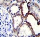 Immunohistochemistry (Formalin/PFA-fixed paraffin-embedded sections) - Anti-NKD2 antibody - C-terminal (ab170804)