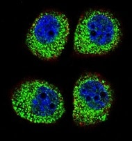 Immunocytochemistry/ Immunofluorescence - Anti-beta Arrestin 1 antibody - C-terminal (ab170805)