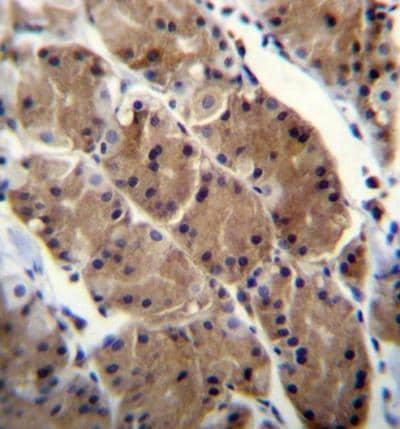 Immunohistochemistry (Formalin/PFA-fixed paraffin-embedded sections) - Anti-Motilin receptor antibody - C-terminal (ab170842)