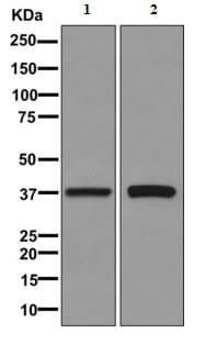 Western blot - Anti-N myc interactor antibody [EPR11066] (ab170870)