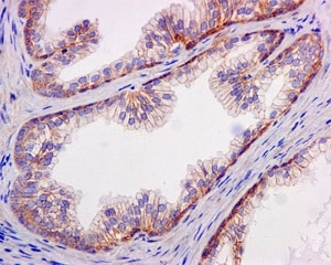 Immunohistochemistry (Formalin/PFA-fixed paraffin-embedded sections) - Anti-SLC22A2 antibody [EPR11248] (ab170871)