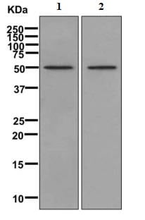 Western blot - Anti-SH2D5 antibody [EPR11181] (ab170881)