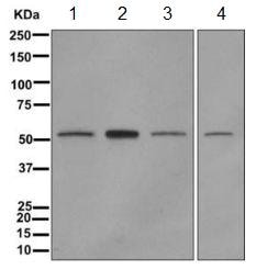 Western blot - Anti-NMD3 antibody [EPR11979(B)] (ab170898)