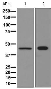 Western blot - Anti-ASS1 antibody [EPR12399(B)] - C-terminal (ab170900)