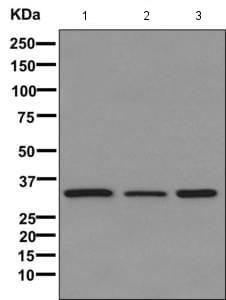 Western blot - Anti-DNAJB7 antibody [EPR11138] (ab170908)