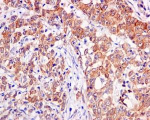 Immunohistochemistry (Formalin/PFA-fixed paraffin-embedded sections) - Anti-RPL30 antibody [EPR11624] (ab170930)