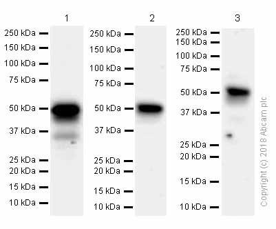 Western blot - Anti-FOXA1 antibody [EPR10881] - ChIP Grade (ab170933)