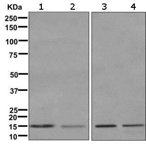 Western blot - Anti-MAGOH antibody [EPR10745] (ab170944)