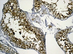 Immunohistochemistry (Formalin/PFA-fixed paraffin-embedded sections) - Anti-Myelin expression factor 2 antibody [EPR10774(B)] (ab170946)