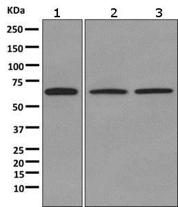 Western blot - Anti-Myelin expression factor 2 antibody [EPR10774(B)] (ab170946)