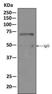 Immunoprecipitation - Anti-Myelin expression factor 2 antibody [EPR10774(B)] (ab170946)