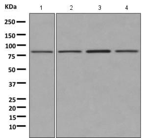 Western blot - Anti-GGA1 antibody [EPR3014(2)] (ab170956)