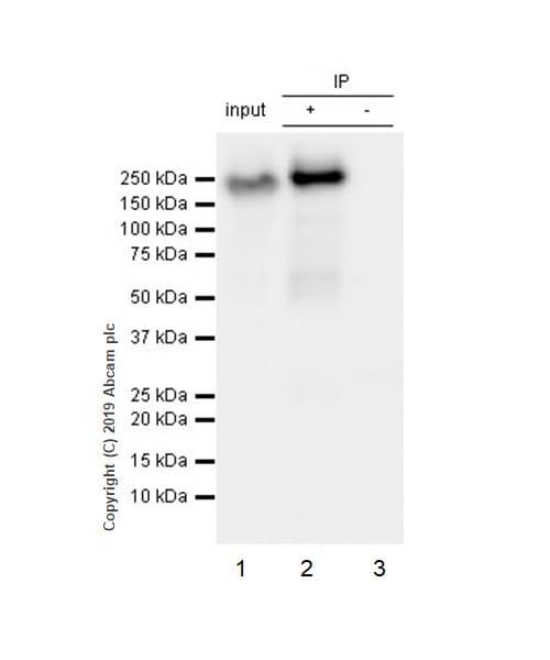 Immunoprecipitation - Anti-EGFR (phospho Y1068) antibody [Y38] - BSA and Azide free (ab171022)
