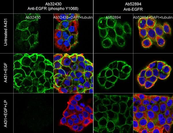 Immunocytochemistry/ Immunofluorescence - Anti-EGFR (phospho Y1068) antibody [Y38] - BSA and Azide free (ab171022)