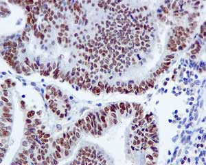 Immunohistochemistry (Formalin/PFA-fixed paraffin-embedded sections) - Anti-BAF60C antibody [EPR5538(2)] (ab171075)