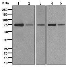 Western blot - Anti-NAF1 antibody [EPR11516] (ab171078)