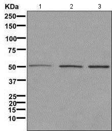 Western blot - Anti-LCOR antibody [EPR11724] (ab171086)