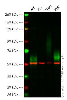Western blot - Anti-CD58 antibody [TS2/9] (ab171087)