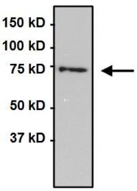 Immunoprecipitation - Anti-Grp75/MOT antibody [9F8] (ab171089)
