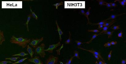 Immunocytochemistry/ Immunofluorescence - Anti-Grp75/MOT antibody [9F8] (ab171089)