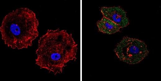 Immunocytochemistry/ Immunofluorescence - Anti-eIF4E antibody [5D11] (ab171091)