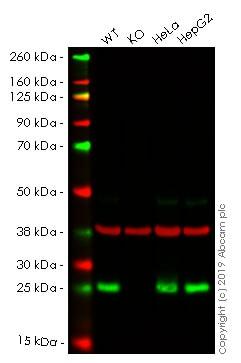 Western blot - Anti-GLO1 antibody [Glo1a] (ab171121)