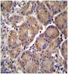 Immunohistochemistry (Formalin/PFA-fixed paraffin-embedded sections) - Anti-Multimerin 2 antibody - C-terminal (ab171314)