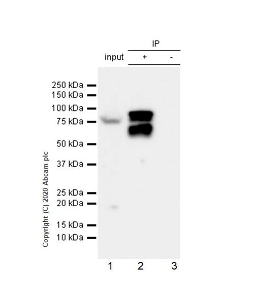 Immunoprecipitation - Anti-RSK1 p90 (phospho T359 + S363) antibody [E238] - BSA and Azide free (ab171376)
