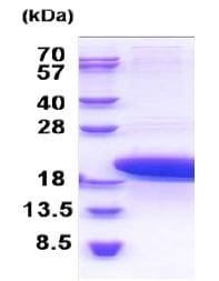 SDS-PAGE - Recombinant Human PTMS protein (ab171469)