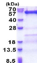SDS-PAGE - Recombinant Human VPS4B/MIG1 protein (ab171483)