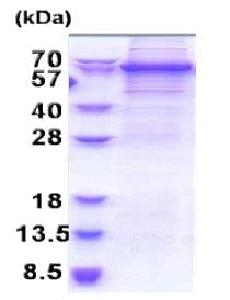 SDS-PAGE - Recombinant Human DDX56/DDX21 protein (denatured) (ab171485)