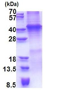 SDS-PAGE - Recombinant Human Wnt7a protein (denatured) (ab171487)