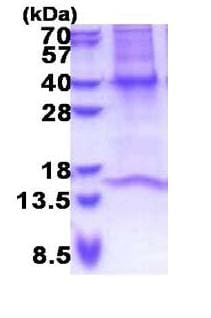 SDS-PAGE - Recombinant Human GNB3 protein (denatured) (ab171490)
