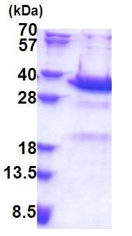 SDS-PAGE - Recombinant Human Synaptotagmin V protein (ab171492)