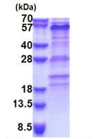 SDS-PAGE - Recombinant Human ZNF689 protein (denatured) (ab171500)