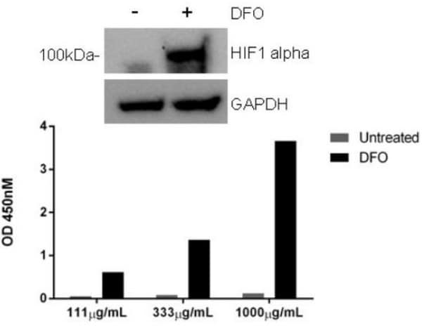 Comparison of HIF1 alpha expression in HeLa cell extracts.