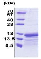 SDS-PAGE - Recombinant Human TAF10 protein (ab171687)