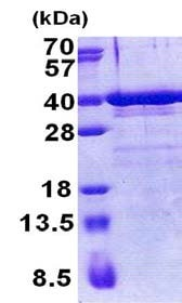 SDS-PAGE - Recombinant Human ZNF346 protein (ab171689)