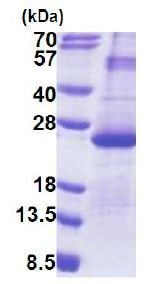 SDS-PAGE - Recombinant Human DUSP26 protein (denatured) (ab171697)