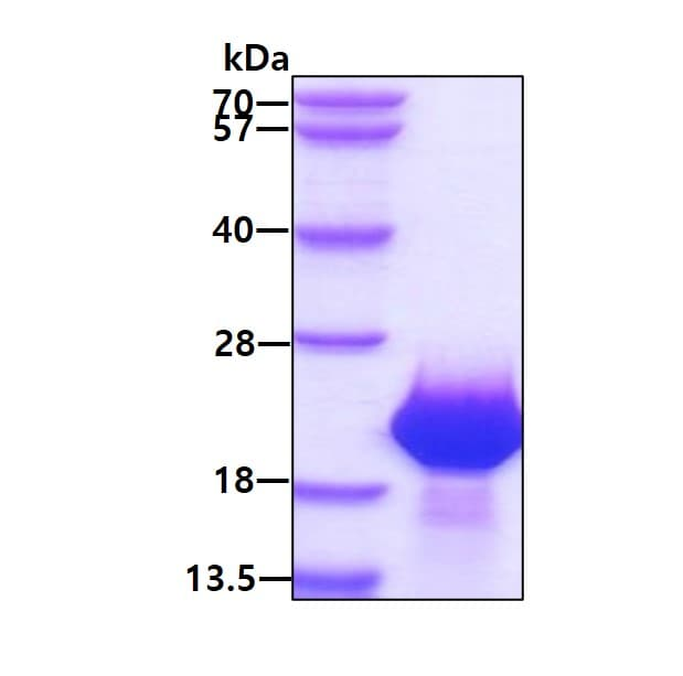SDS-PAGE - Recombinant Human FAM107B protein (ab171700)