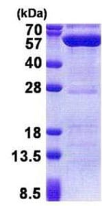 SDS-PAGE - Recombinant Human PPM1F/POPX2 protein (ab171704)