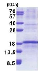 SDS-PAGE - Recombinant Human RPL34 protein (denatured) (ab171711)