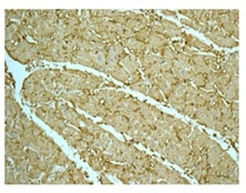 Immunohistochemistry (Formalin/PFA-fixed paraffin-embedded sections) - Anti-Superoxide Dismutase 3/EC-SOD antibody [EPR10860] (ab171738)