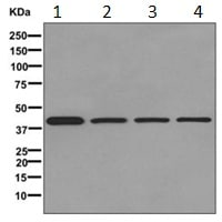 Western blot - Anti-FABP-1 antibody [EPR12354(B)] (ab171739)