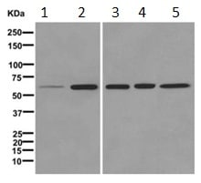 Western blot - Anti-CELF4 antibody [EPR11824] (ab171740)