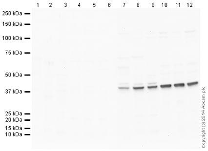 Western blot -兔IgG,多克隆-同种型对照(芯片级)(AB171870)