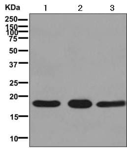 Western blot - Anti-NM23A antibody [EPR10146] (ab171935)